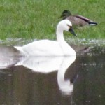 Tundra swan at Dinsdale's Farm