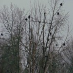 How many eagles?