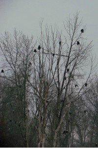 How many eagles in this tree?