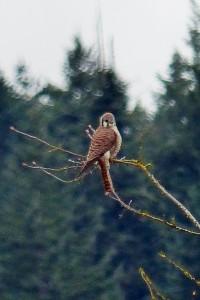 Female American Kestrel