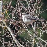 Northern Mockingbird - photo Heather Wade