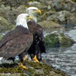 Eagle-Pair-em