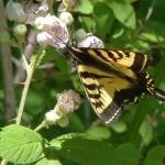 Swallowtail-em