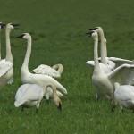 Trumpeter-Swans-em