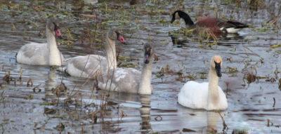Trumpeter Swans with unusual beaks