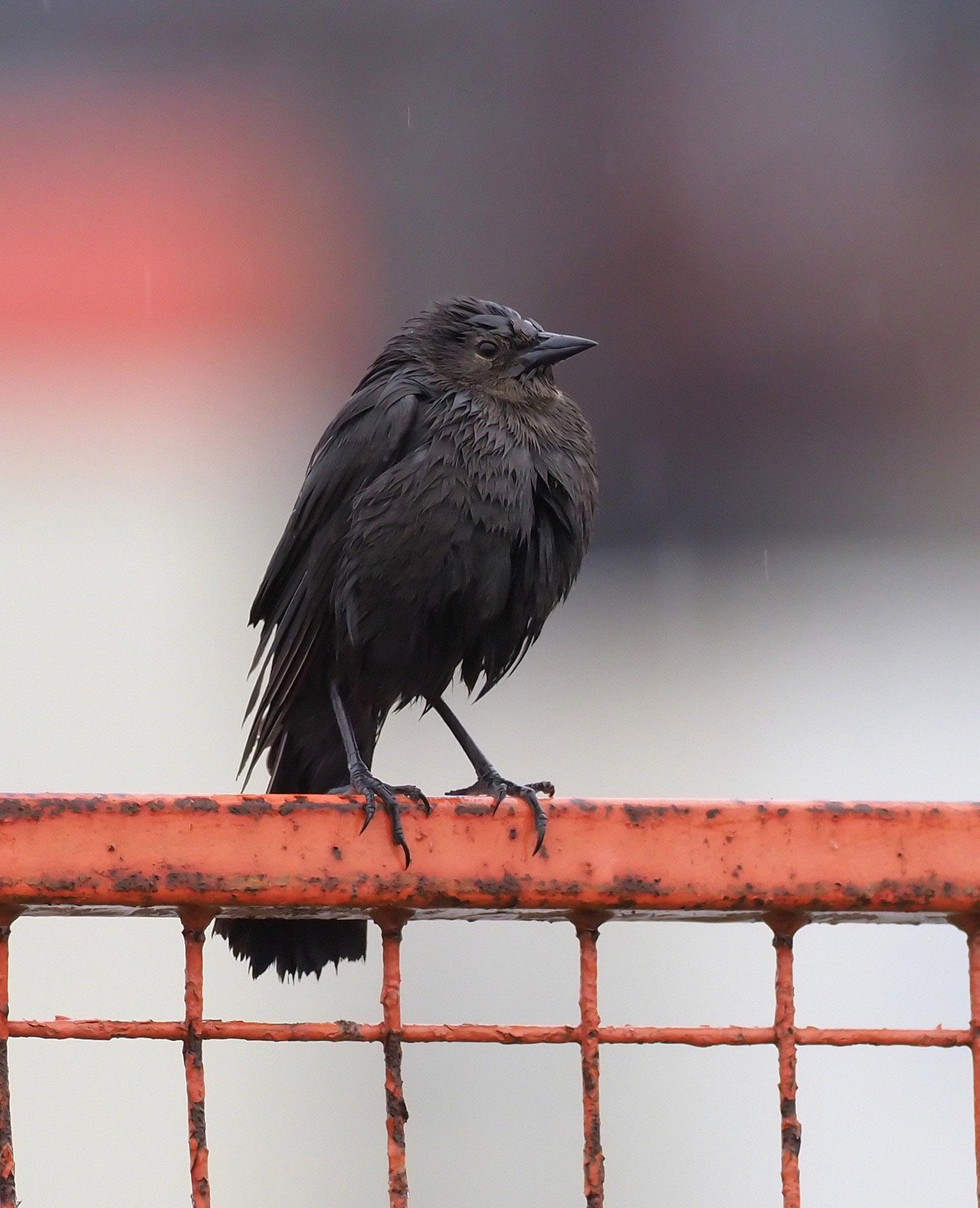 Northwesternn crow